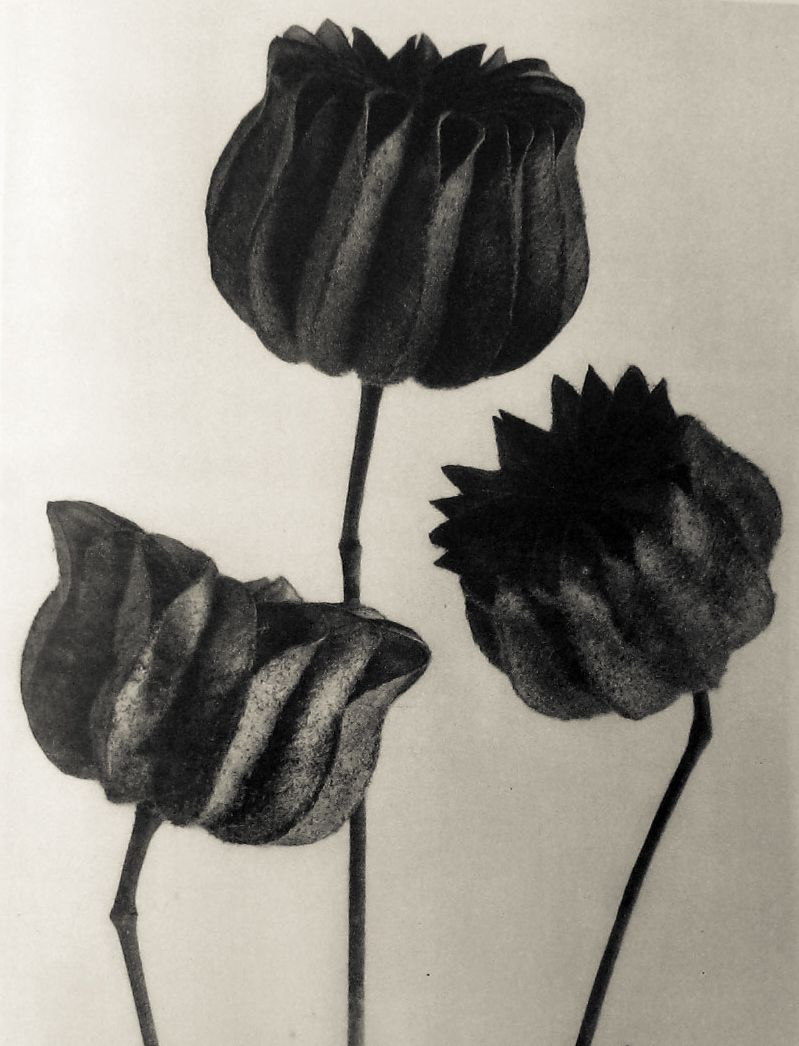 Photo Karl Blossfeldt