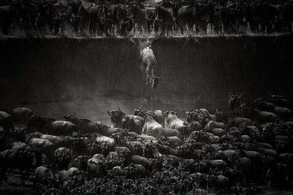Jump of the wildebeest at the Mara River. Copyright Nicole Cambré. 1er prix du concours 2014 du National Geographic, catégorie Nature